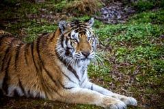 Πρόσωπο της κινηματογράφησης σε πρώτο πλάνο τιγρών Amur Τίγρη amur σιβηρική τίγρη Στοκ φωτογραφίες με δικαίωμα ελεύθερης χρήσης