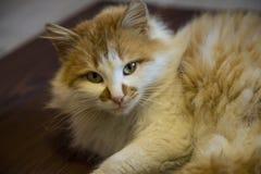 Πρόσωπο της κόκκινης, χνουδωτής γάτας Στοκ Εικόνα