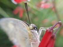 Πρόσωπο της πεταλούδας Στοκ φωτογραφία με δικαίωμα ελεύθερης χρήσης