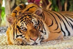 Πρόσωπο της τίγρης Στοκ εικόνες με δικαίωμα ελεύθερης χρήσης