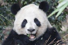 Πρόσωπο της Panda ` s κινηματογραφήσεων σε πρώτο πλάνο, Chengdu, Κίνα Στοκ εικόνες με δικαίωμα ελεύθερης χρήσης