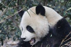 Πρόσωπο της Panda ` s κινηματογραφήσεων σε πρώτο πλάνο, Chengdu, Κίνα Στοκ Φωτογραφίες