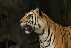 Πρόσωπο τιγρών της Βεγγάλης που απομονώνεται από το μαύρο υπόβαθρο Στοκ φωτογραφία με δικαίωμα ελεύθερης χρήσης