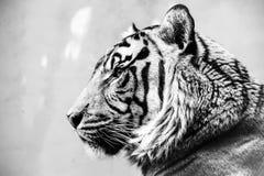 Πρόσωπο τιγρών Στοκ Φωτογραφίες