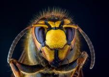 Πρόσωπο του ευρωπαϊκού hornet Vespa στο μαύρο υπόβαθρο Στοκ Φωτογραφίες
