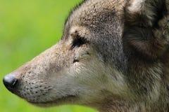Πρόσωπο λύκων Στοκ φωτογραφία με δικαίωμα ελεύθερης χρήσης