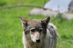 Πρόσωπο λύκων Στοκ Εικόνα