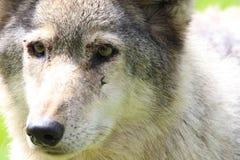 Πρόσωπο λύκων Στοκ φωτογραφίες με δικαίωμα ελεύθερης χρήσης