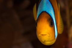 Πρόσωπο Anemonefish Στοκ Εικόνες