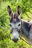 Πρόσωπο Donky στοκ φωτογραφίες με δικαίωμα ελεύθερης χρήσης