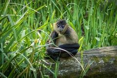 Πρόσωπο Gibbon Στοκ Εικόνες