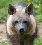 Πρόσωπο Hyena Στοκ φωτογραφία με δικαίωμα ελεύθερης χρήσης