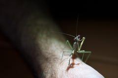 πρόσωπο mantis βραχιόνων που πρ&omicro Στοκ Φωτογραφίες