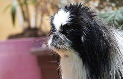 Πρόσωπο Pekinese στοκ φωτογραφία με δικαίωμα ελεύθερης χρήσης