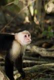πρότυπος πίθηκος Στοκ Φωτογραφία