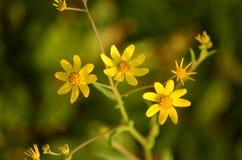 πρότυπο 3 λουλουδιών κίτρινο Στοκ Εικόνες