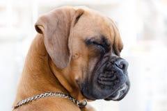 Πρότυπο σκυλιών Στοκ εικόνες με δικαίωμα ελεύθερης χρήσης