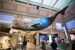 Πρότυπο φαλαινών στο μουσείο φυσικής ιστορίας στο Washington DC, ΗΠΑ Στοκ φωτογραφίες με δικαίωμα ελεύθερης χρήσης