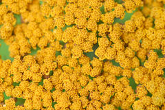 πρότυπο 2 λουλουδιών κίτρινο Στοκ φωτογραφία με δικαίωμα ελεύθερης χρήσης