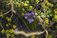 Πρόωρα λουλούδια άνοιξη, στη Στοκχόλμη, Σουηδία στοκ εικόνες με δικαίωμα ελεύθερης χρήσης