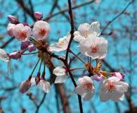 Πρόωρα λουλούδια Sakura ανοίξεων/άνθος κερασιών, Ιαπωνία στοκ φωτογραφίες με δικαίωμα ελεύθερης χρήσης