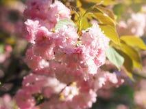 Πρόωρα μεγάλα τρυφερά ρόδινα λουλούδια δέντρων sakura ανοίξεων πολύβλαστα bllossom στοκ εικόνες