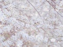 Πρόωρα τρυφερά άσπρα λουλούδια δέντρων κερασιών ανοίξεων άγρια bllossom στοκ φωτογραφία