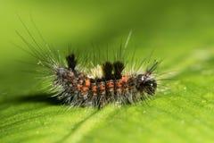 Πρόωρη instar κάμπια σκώρων Vapourer (antiqua Orgyia) Στοκ εικόνες με δικαίωμα ελεύθερης χρήσης