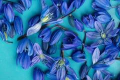 Πρόωρο άνθος scilla άνοιξη μπλε στο πιάτο aqua Στοκ Εικόνες