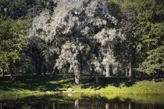 Πρόωρο άσπρο δέντρο φθινοπώρου Στοκ Φωτογραφίες