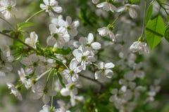 Πρόωρο δέντρο κερασιών ανοίξεων bllossom με το τρυφερό άσπρο έδαφος λουλουδιών στοκ φωτογραφίες με δικαίωμα ελεύθερης χρήσης