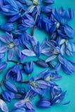 Πρόωρο μπλε scilla άνοιξη στο πιάτο aqua Στοκ φωτογραφίες με δικαίωμα ελεύθερης χρήσης