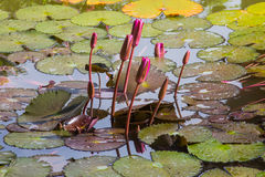 Πρόωρο λουλούδι Lotus Brith Στοκ Εικόνες
