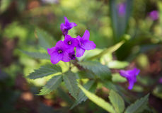 Πρόωρο πορφυρό ιώδες δασικό λουλούδι άνοιξη Στοκ Φωτογραφία
