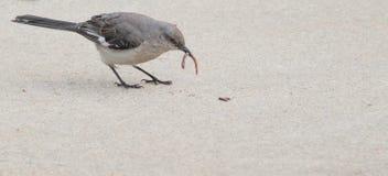 Πρόωρο πουλί Mockingbird w/worm Στοκ φωτογραφία με δικαίωμα ελεύθερης χρήσης