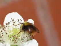 Πρόωρο Bumblebee στον κήπο στοκ εικόνα με δικαίωμα ελεύθερης χρήσης
