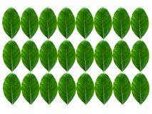 πρώιμα φύλλα jackfruit Στοκ Φωτογραφία