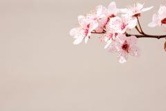 πρώιμη άνοιξη λουλουδιών κερασιών Στοκ Εικόνα