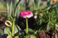 πρώιμη άνοιξη λουλουδιών Στοκ Εικόνα
