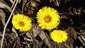 πρώιμη άνοιξη λουλουδιών Στοκ Φωτογραφίες