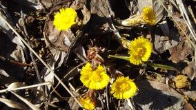 πρώιμη άνοιξη λουλουδιών Στοκ Εικόνες
