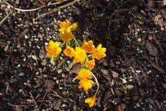 πρώιμη άνοιξη λουλουδιών &ka Στοκ Εικόνα