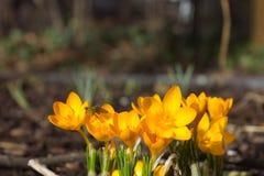πρώιμη άνοιξη λουλουδιών &ka Στοκ Εικόνες