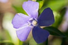 πρώιμη άνοιξη λουλουδιών Στοκ εικόνα με δικαίωμα ελεύθερης χρήσης
