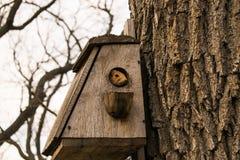 πρώιμη άνοιξη Ο σκίουρος αναρριχήθηκε στο ξύλινο birdhouse και κοίταξε από το Στοκ Φωτογραφίες