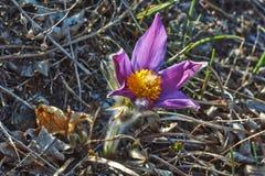 πρώιμη άνοιξη pulsatilla λουλουδιών patens Στοκ εικόνες με δικαίωμα ελεύθερης χρήσης