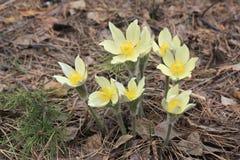 πρώιμη άνοιξη pulsatilla λουλουδιών patens Στοκ Εικόνες