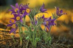 πρώιμη άνοιξη pulsatilla λουλουδιών patens Στοκ Εικόνα