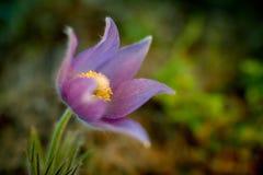 πρώιμη άνοιξη pulsatilla λουλουδιών patens Στοκ φωτογραφία με δικαίωμα ελεύθερης χρήσης