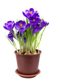 Πρώιμος κρόκος λουλουδιών άνοιξη που απομονώνεται στοκ φωτογραφίες
